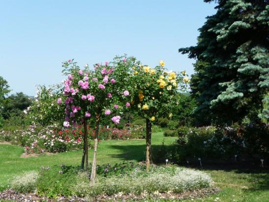 Rosenbäumchen in Europa-Rosarium Sangerhausen