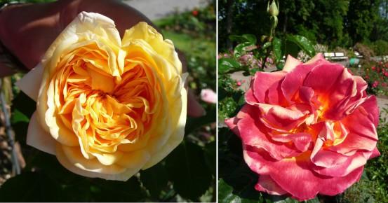 Farbenpracht im Rosarium
